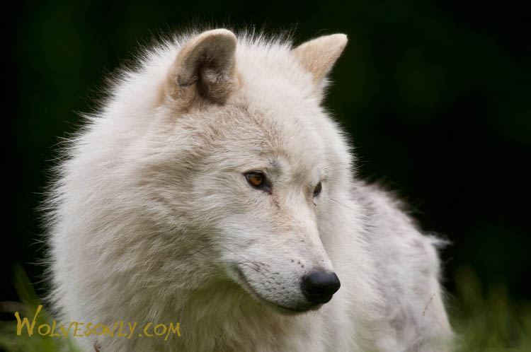 related pictures arctic wolves - photo #29