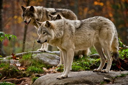 Timber Wolf