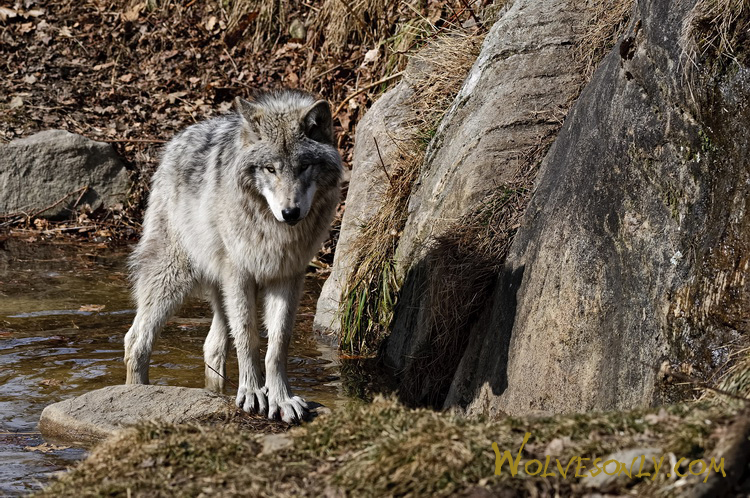 Timber wolf in pond tw4