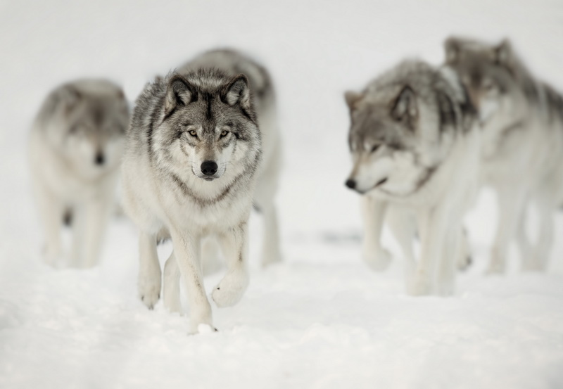 Arctic Wolf pack walking along the snow in winter